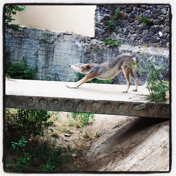 #Волк в столичном #zoo #wolf #Kyiv #Ukraine #FromDonetsk #Киев #Украина #волк #зоо