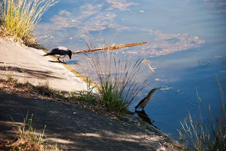 Серая #ворона и #выпь малая, aka #волчок на бетонном берегу #Кальмиус #fromdonetsk #фото by Alexander Strinadko...