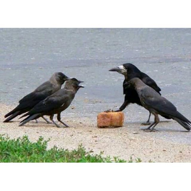 #Размер имеет #значение #Грач и три галки делят добычу #птицы #орнитология #жизнь #life #ornitology #size does matter #birds ...