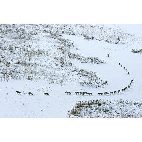 Большая стая, состоящая из 25 волков, охотящихся на бизонов у Полярного круга в северной Канаде. В середине зимы в Национальн...