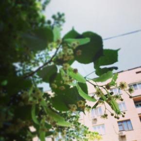 #Липа цветет и пахнет #Донецк #govoritdonetsk #fromdonetsk #Donetsk #Ukraine #Украина  @ Boulevard Pushkin http://instagram.c...