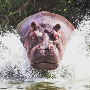 Вижу цель и не вижу препятствий! #hippo #гиппопотам #бегемот #ярость #furious #fromdonetsk #govoritdonetsk...