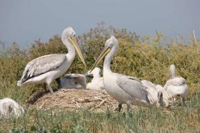 На Кривой косе сотрудниками парка #Меотида отмечены 17 кудрявых пеликанов - #Фото Геннадий #Молодан #пеликан #море #коса #fro...