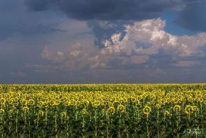 Перед дождем... - так назвала это #фото его #автор Александра Такташева #подсолнухи #поле #солнце #дождь #Донецк #fromdonetsk...